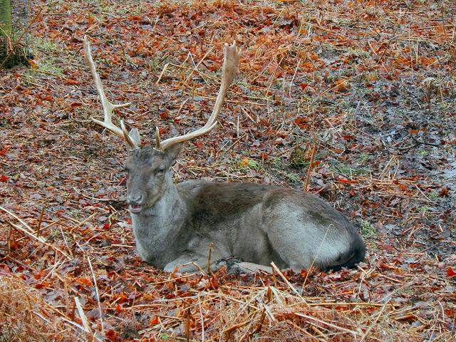Stag at Dunham Deer Park