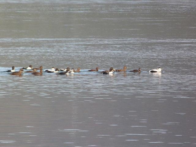 A group of eiders on Loch Fleet