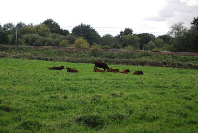 Cattle grazing by the Great Eastern Main Line
