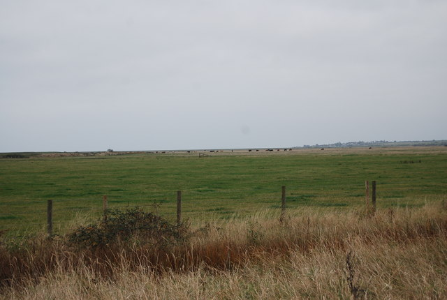 Distant cattle, St Mary's Marshes