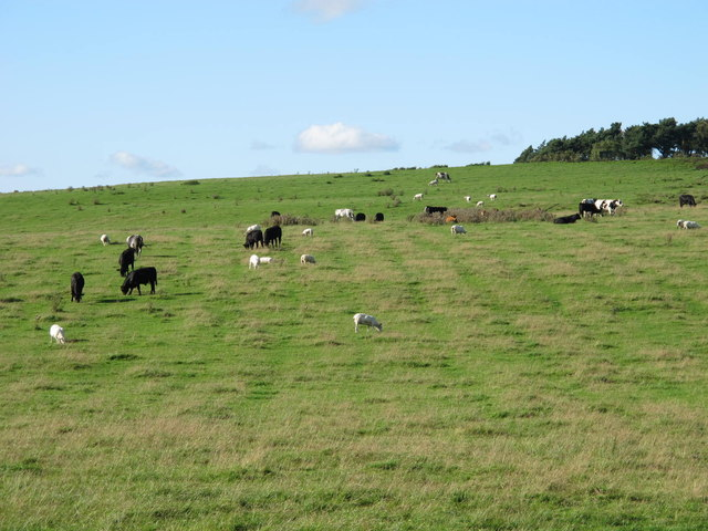 Cattle and sheep grazing below Currick Hill