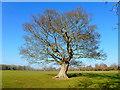 SO3548 : Winter oak by Jonathan Billinger