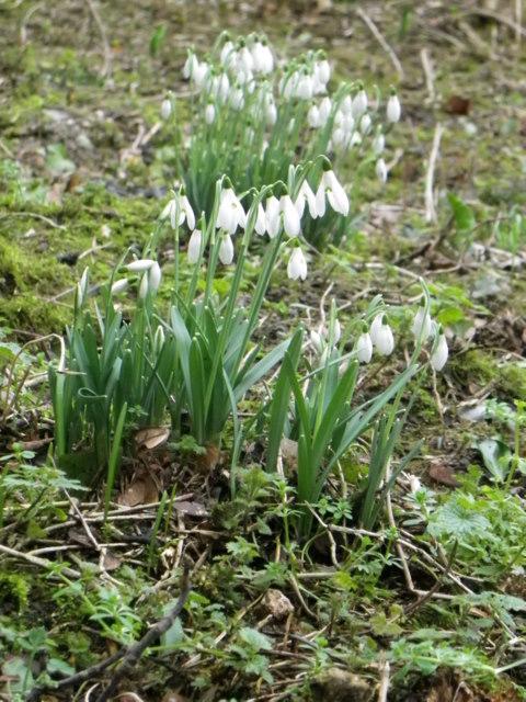 Snowdrops, Wimborne St Giles