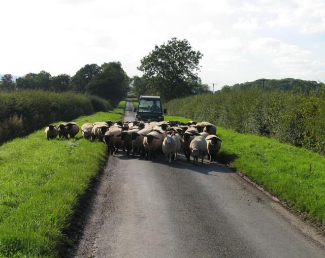 Herding sheep on Six Hills Road