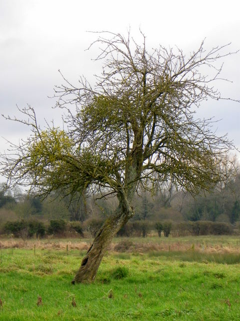 Old apple tree, Frenchs Farm