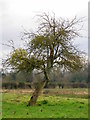 SU0212 : Old apple tree, Frenchs Farm by Maigheach-gheal
