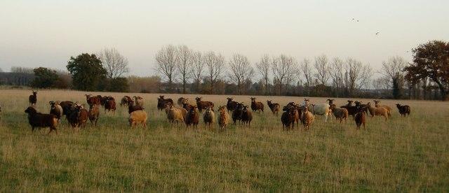 Sheep field near Denham Castle, Suffolk