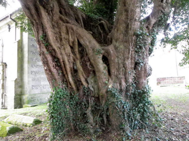 Yew tree, St Giles Church