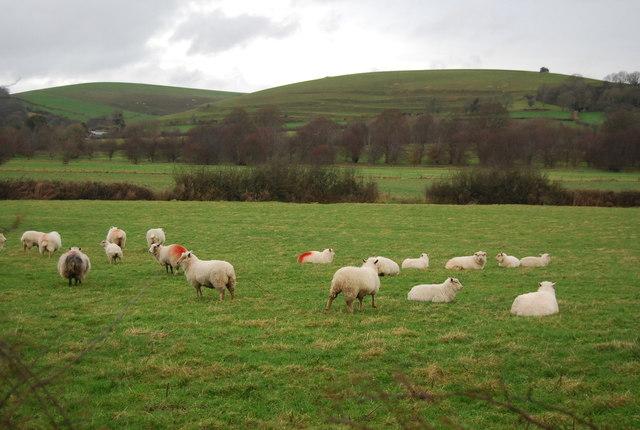 Sheep, Long Bredy Farm