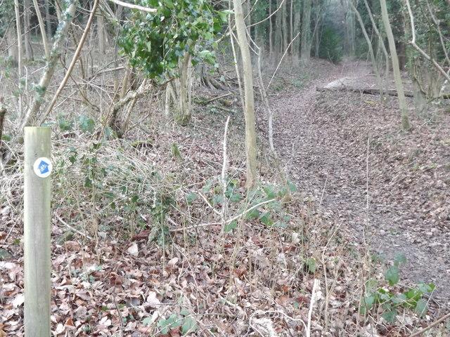 Beech, Woodland Path