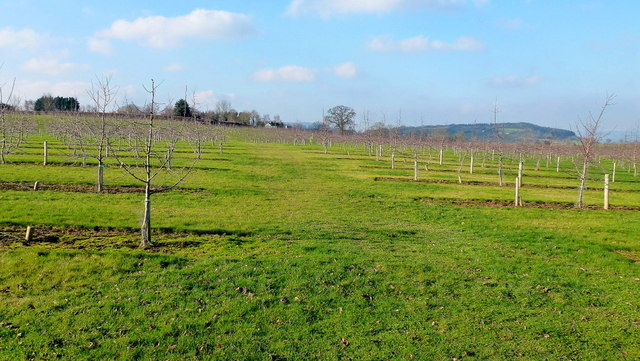 Young cider orchard