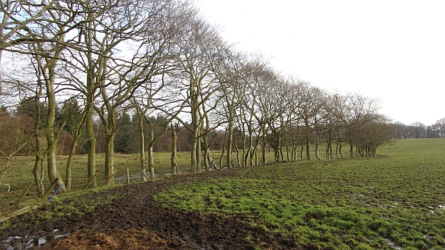 Strip of beeches