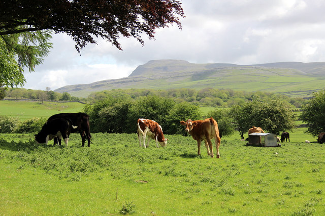Cattle Grazing, Thornton in Lonsdale, Yorkshire