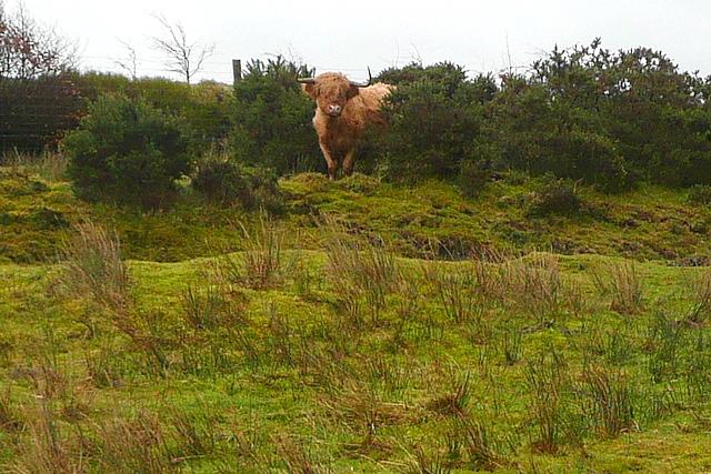 Cow at Tarr Ball