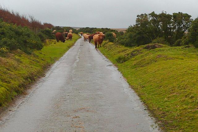 Cattle at Tarr Ball