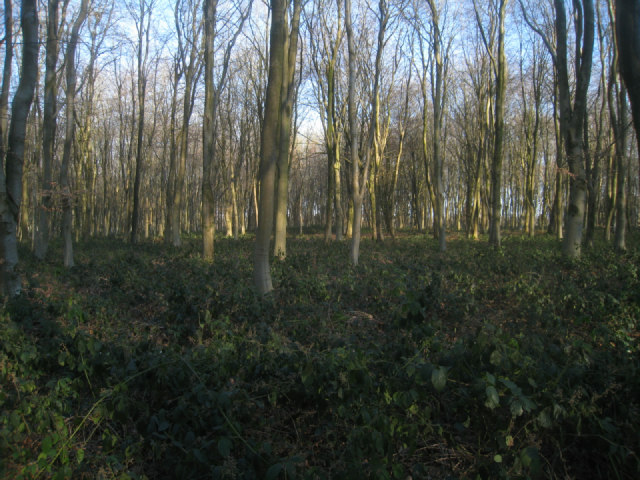 Thick undergrowth - Bull's Bushes Copse