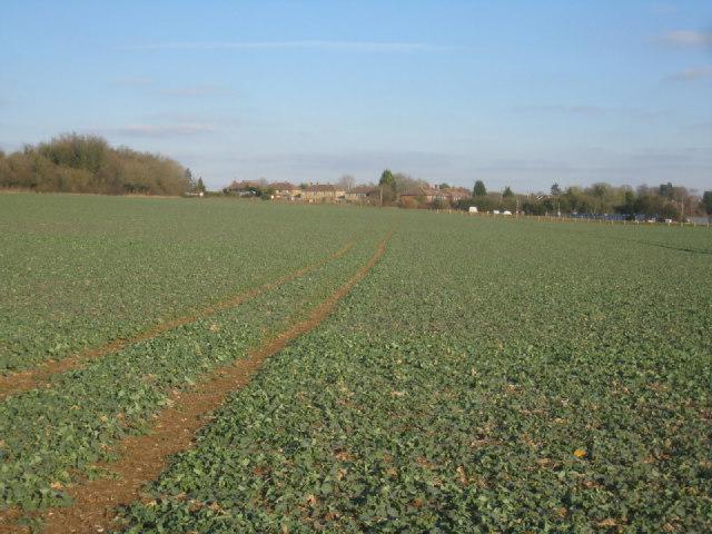 Oil seed rape in winter