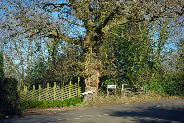 Oak tree at the junction