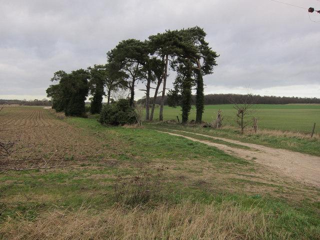 Pine trees along farm track