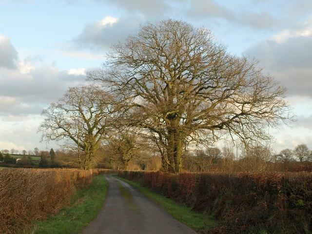 Oaks near Jack's House
