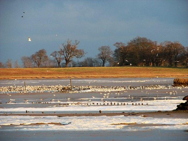 Sea gulls at Angel Marshes, Blythburgh