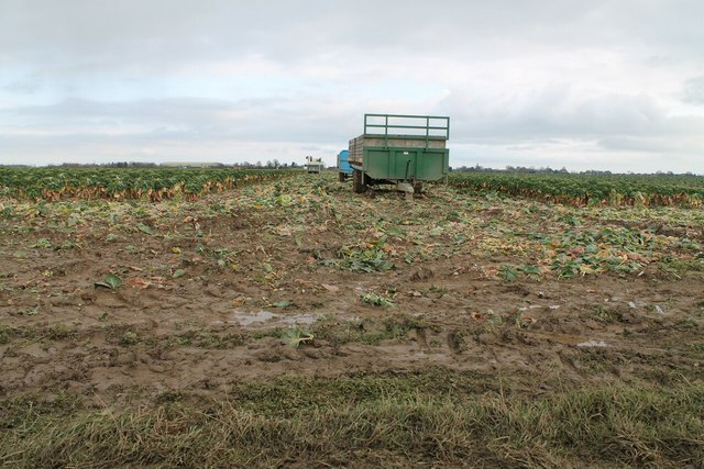 Harvesting Brussels Sprouts