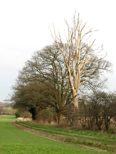 Bleached dead tree in hedgerow, Little Glemham