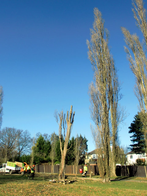 Poplar trees down, Oakwood Park, London N14