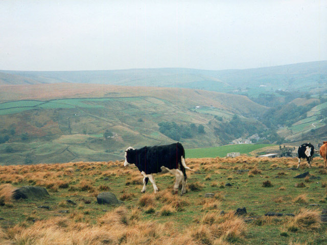 Cattle at Rake End