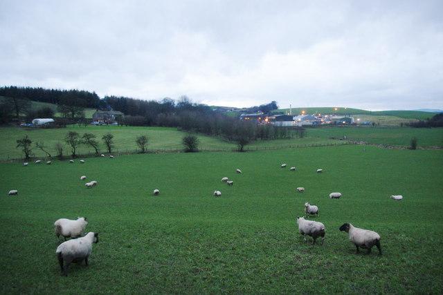 Sheep running away near Barnoldswick