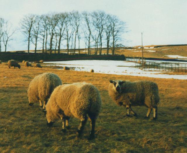 Sheep at Baitings Farm