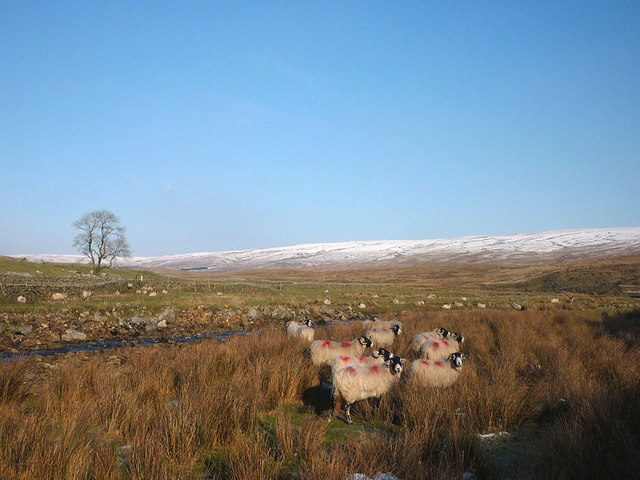 Sheep by Gayle Beck