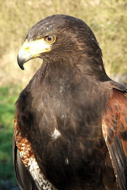 Hetty the Harris Hawk