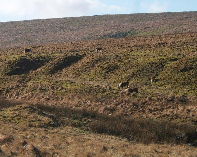Dartmoor Ponies by the Black-a-ven Brook