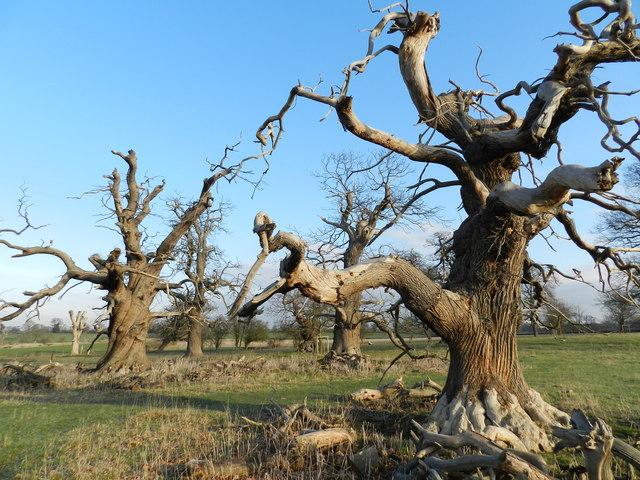 Clump of dead elms, Hanbury Park
