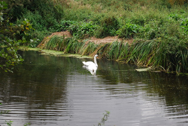 Swan on the River Gipping