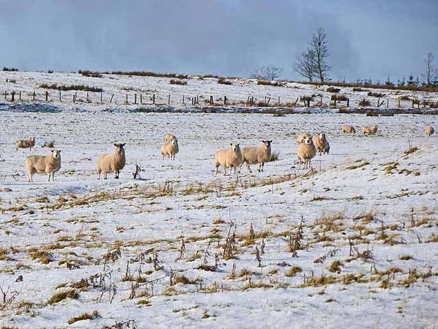 Sheep in field above Cowstand Burn