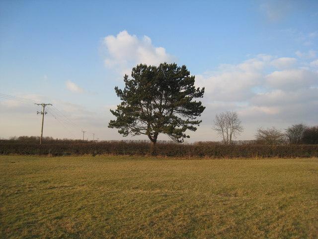 Spruce tree on Stathern Road