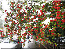 TQ4077 : Berries with snow by Stephen Craven