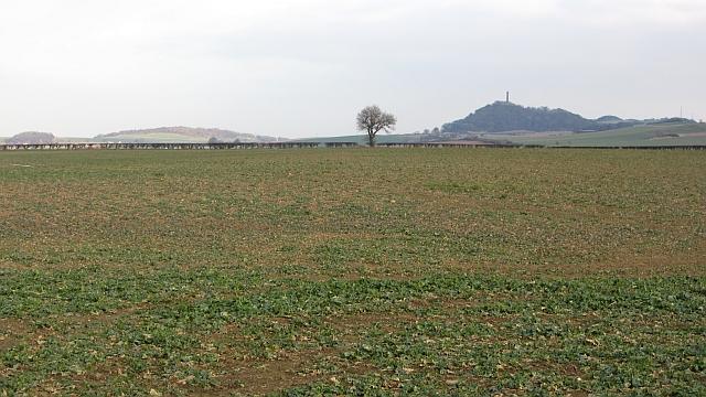 Oilseed rape, Coates