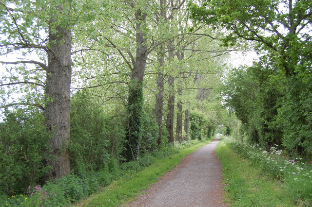 Poplars along cycle track