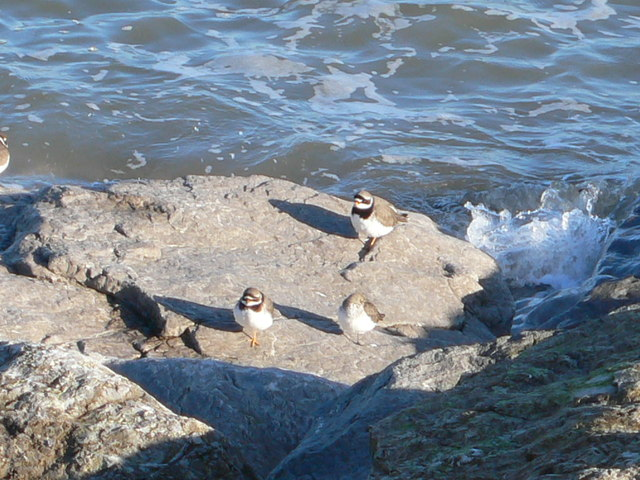 Ringed Plover at Rhos Point