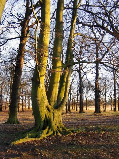Beech tree in February, Conduit Wood, Richmond Park