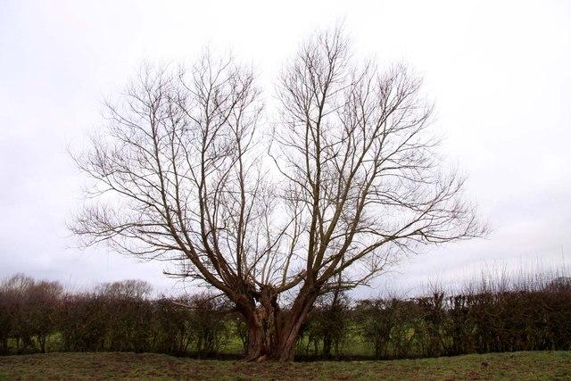 A split willow tree near Hampton Poyle
