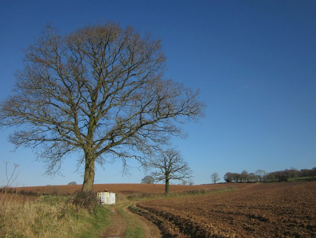 Oaks by the path above Highwood's Farm