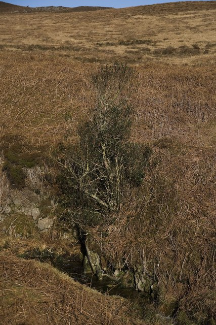 Holly Tree on Allt Bhachlaig, Islay