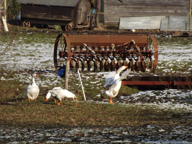 Common Geese