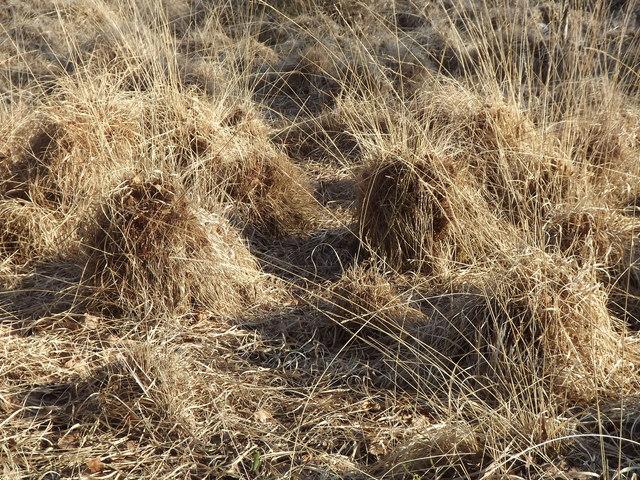 Grass Tussocks