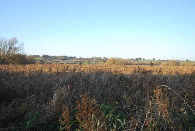 Reeds, Westbere Marshes