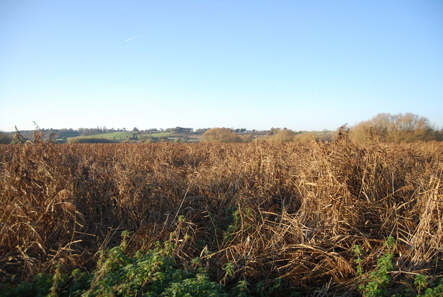 Reedbeds, Westbere Marshes